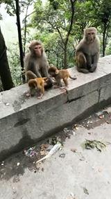 Opice ako ľudia