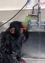 Ako sa umýva opica?