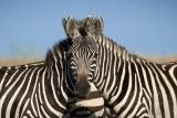 Ktorá zebra sa pozerá do kamery?