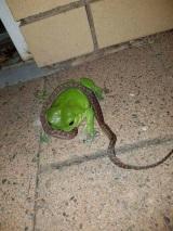 Keď žaby jedia hadov...